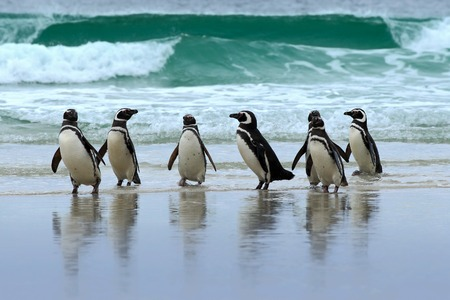 Magellan penguin, three water bird in the ocean, swimming and jumping in the sea, Falkland Island. Sea waves with birds. Penguin on white sand beach. Sea with penguins. Group of penguins with wave.