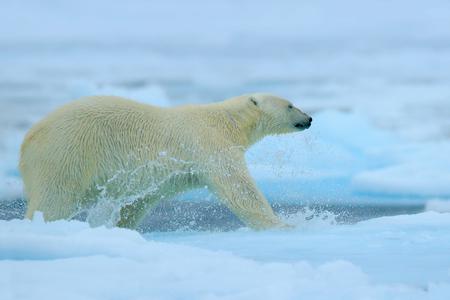 Polar bear running on the ice with water. Polar bear on drift ice in Arctic Russia. Polar bear in the nature habitat with snow. Polar bear with splash water. Action scene with polar bear, Russia. Stock Photo