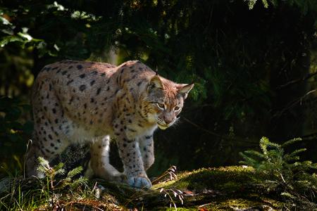 Lynx dans la forêt. Lynx chat sauvage dans l'habitat forestier de la nature. Lynx d'Eurasie dans la forêt, forêt de bouleaux et de pins. Lynx couché sur la pierre de mousse verte. Lynx mignon, scène de la faune de la nature, Slovaquie. Banque d'images - 90959024