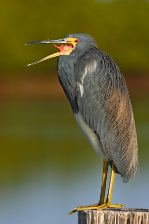 Bird with open bill. Water bird sitting on the tree stump. Beach in Florida, USA. Water bird Tricolored Heron, Egretta tricolor, with orange bill in the nature habitat. Animal in the water.