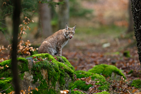 Wild Cat Lynx in the nature forest habitat. Eurasian Lynx in the forest, birch and pine forest. Lynx lying on the green moss stone. Cute lynx, wildlife scene from nature, Germany