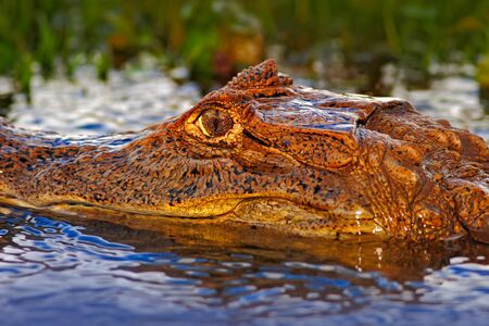 Portrait of yacare Caiman in blue water, Cano Negro, Costa Rica Stock Photo
