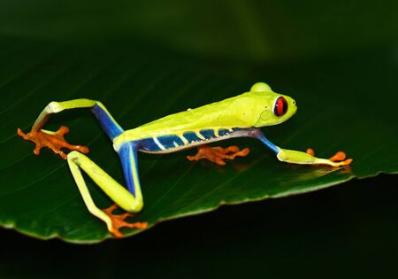 Red-eyed Tree Frog, Agalychnis callidryas, Costa Rica. Beautiful frog from tropic forest. Jungle animal on the green leave. Frog with red eye.
