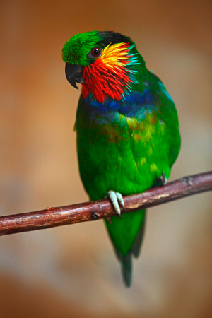 Edwardss fig parrot, Psittaculirostris edwardsii, also known as the scarlet-cheeked fig parrot, green parrot with red face sitting in branch, clear brown forest background, bird in nature, New Guinea
