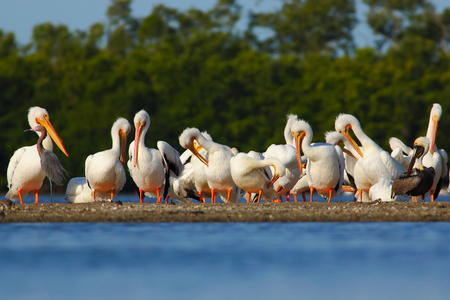 Group of pelican in stone island in the sea. White Pelican, Pelecanus erythrorhynchos, bird in the dark water, nature habitat, Florida, USA