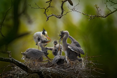 Bird family in the nest. Feeding scene During nesting time. Grey heron with young in the nest. Food in the nest with young herons. Birds in the nest. Action scene from nature. Wildlife in the nest. Stock Photo