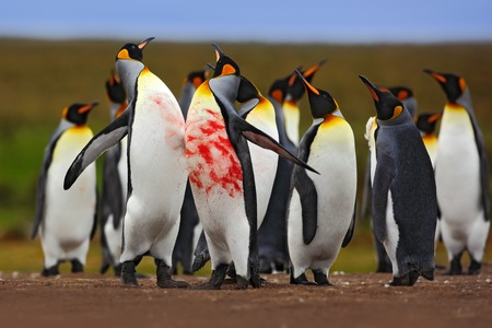 Penguin colony. Bloody fight in a king penguin colony. Red blood on the penguin points. Action scene with penguins. Penguin colony in the Falklands wildlife. Two penguins in fight. Birds in fight, nature.