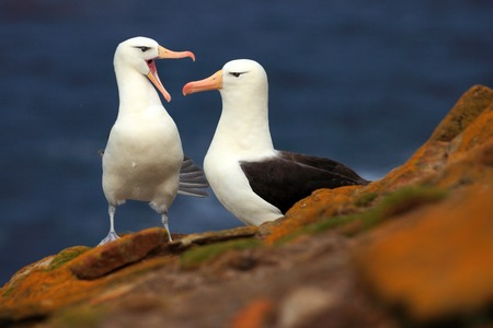 Pair of birds Black-browed albratros. Beautiful sea bird sitting on the cliff. Albatross with dark blue water in the background, Falkland Island. Albatross with open bill. Albatross courtship. Stock Photo