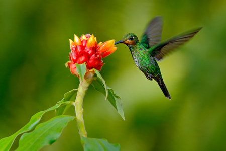 hummingbird Green-crowned Brilliant, Heliodoxa jacula, green bird from Costa Rica flying next to beautiful red flower with clear background, nature habitat, action feeding scene. Stock Photo