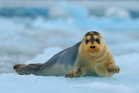 Bearded seal on blue and white ice in arctic Svalbard, with lift up fin.