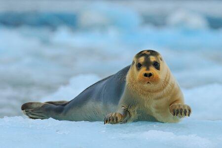 Guarnizione barbuta su ghiaccio blu e bianco in Svalbard artico, con alza su. Archivio Fotografico - 91827412