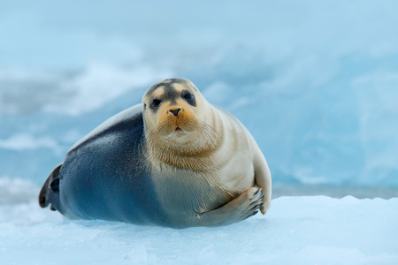 Bearded seal on blue and white ice in Arctic Russia, with lift up fin.
