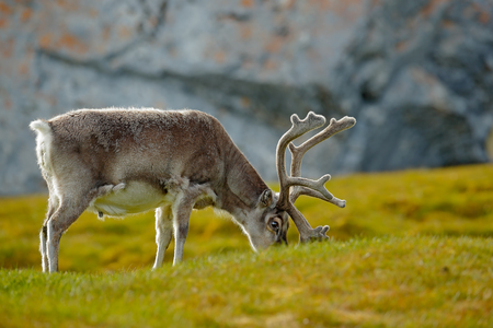 Reindeer, Rangifer tarandus, with massive antlers in the green grass, Svalbard, Norway. Svalbard deer on the meadow in Svalbard. Wildlife scene from nature. Animal from Norway with back light.  Stock Photo