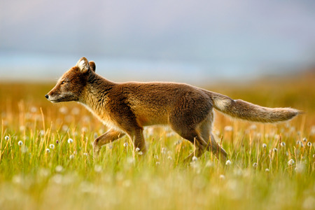 Arctic Fox, Vulpes lagopus, in the nature habitat. Fox in grass meadow with flowers, Svalbard, Norway. Beautiful animal in the bloom field. Running fox. Wildlife action scene from Norway.  Stok Fotoğraf