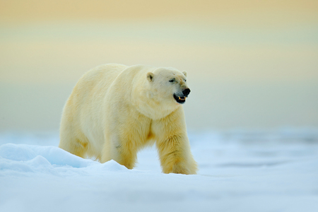 Polar bear walking on drift ice with snow. White animal in the nature habitat, Russia. Dangerous polar bear in the cold sea. Polar bear with blue iceberg. Beautiful winter scene with ice and snow.