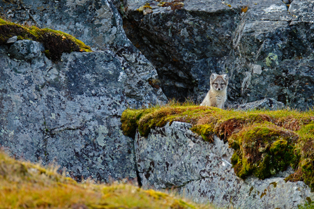 Small fox in the rock habitat. Arctic Fox, Vulpes lagopus, cute animal portrait in the nature habitat, grass meadow with flowers dark rock in the background, Svalbard, Norway.