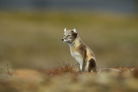 Arctic Fox, Vulpes lagopus, in the nature habitat, grass meadow with flowers, Svalbard, Norway. Banque d'images