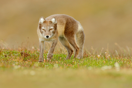 Arctic Fox, Vulpes lagopus, cute animal portrait in the nature habitat, grass meadow with flowers, Iceland. Polar fox in the nature spring habitat. Wildlife from Arctic.