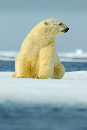 Polar bear sitting on drift ice with snow. White animal in the nature habitat, Canada. Standing polar bear in the cold sea. Polar bear with blue iceberg. Beautiful winter scene with ice and snow.