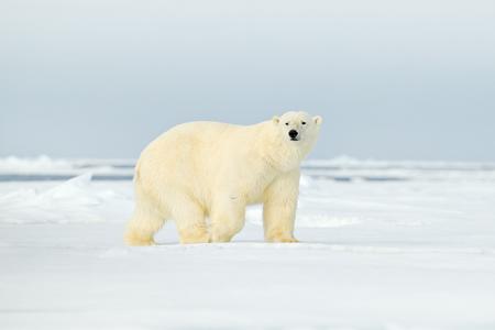 Oso polar en el borde de hielo a la deriva con nieve y agua en el Ártico Svalbard. Animal blanco en el hábitat natural, Noruega. Escena de vida silvestre de la naturaleza de Noruega. Oso polar caminando sobre hielo, hermoso cielo nocturno. Foto de archivo