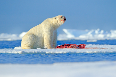 White polar bear on drift ice with snow feeding kill seal, skeleton and blood, Russia. Bloody nature with big animal. Polar bear, carcass of seal. Ice and blue sea with white bear. Dangerous animal. Stock Photo