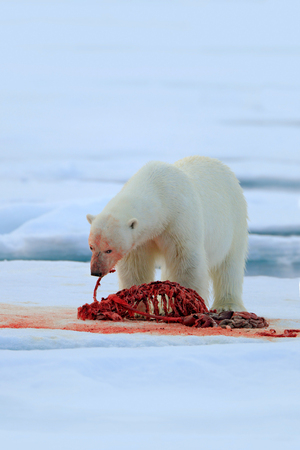 Bloody action scene. Polar bear on drift ice with snow feeding bloody kill seal, skeleton and blood, Svalbard, Norway. White big animal in the nature habitat, food in the ice. Polar bear in Russia. Stock Photo