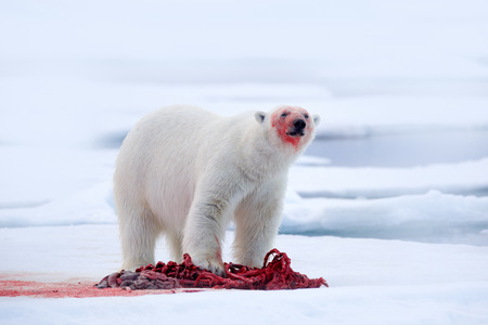 White polar bear on drift ice with snow feeding kill seal, skeleton and blood, Svalbard, Norway. Bloody nature, big animal. Polar bear, carcass of seal. Ice and blue sea, white bear. Dangerous animal.