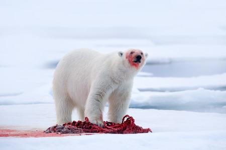 White polar bear on drift ice with snow feeding kill seal, skeleton and blood, Svalbard, Norway. Bloody nature, big animal. Polar bear, carcass of seal. Ice and blue sea, white bear. Dangerous animal.