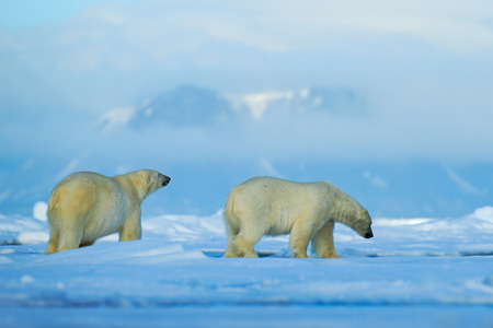 Wildlife scene with two polar bears from the Arctic. Polar bear couple cuddling on drift ice in Arctic Svalbard. Bear with snow and white ice on the sea. Cold winter scene with dangers animals.