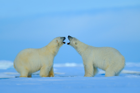 Polar bear conflict with open snout in Svalbard. Stock Photo