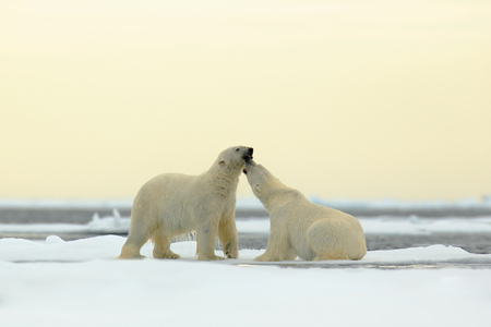 Wildlife scene with two polar bears from the Arctic. Two Polar bear couple cuddling on drift ice in Arctic Svalbard. Bear with snow and white ice on the sea. Cold winter scene with dangers animals.
