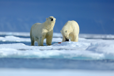 Polar bear couple cuddling on drift ice in Arctic Svalbard. Bear with snow and white ice on the sea. Cold winter scene with dangers animals. Wildlife scene with two polar bears from the Arctic. . Stock Photo