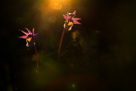 Calypso bulbosa, beautiful pink orchid, Finland. Flowering European terrestrial wild orchid, nature habitat, detail of bloom, Europe. Beautiful evening light.