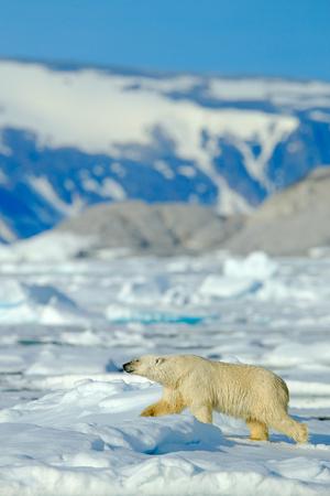 Beautiful winter scene with ice and snow. Polar bear on drift ice with snow, white animal in the nature habitat, Svalbard, Norway. Running polar bear in the cold sea. Polar bear with blue iceberg.  Stock Photo