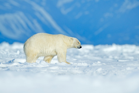 Polar bear walking on the ice. Polar bear, dangerous looking beast on the ice with snow in north Canada. Wildlife scene from nature. Cold winter with polar bear. Animal, mountain in the background. Stock Photo