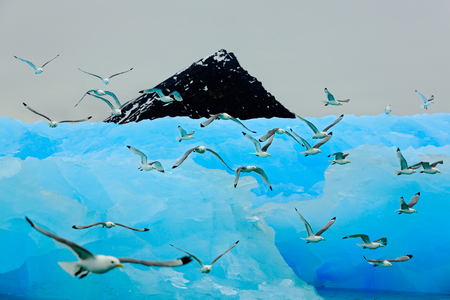 Flock of birds with beautiful blue ice. Black-legged Kittiwake, Rissa tridactyla, with ice glacier, iceberg, in background, Svalbard, Norway. Wildlife action scene from the Arctic. Black rock in sea.