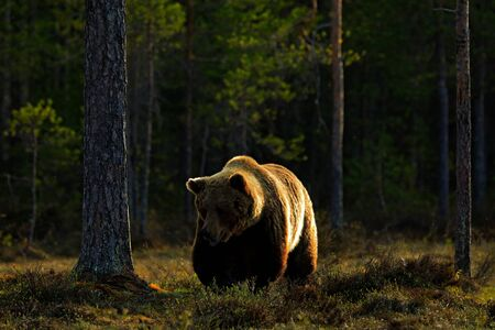 Evening light with big brown bear. Beautiful brown bear walking around lake in the morning sun. Dangerous animal in nature forest and meadow habitat. Wildlife scene from Finland near Russia bolder. Stock Photo