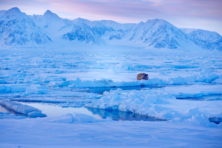 Snowy Arctic landscape with big animal. Winter landscape with animal. Walrus, Odobenus rosmarus, stick out from blue water on white ice with snow, Svalbard, Norway. Winter landscape with big animal. Stock Photo