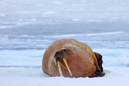Walrus on cold ice with snow. Walrus, Odobenus rosmarus, stick out from blue water on white ice with snow, Svalbard, Norway. Winter landscape with big animal. Snowy Arctic landscape with big animal. Stock Photo