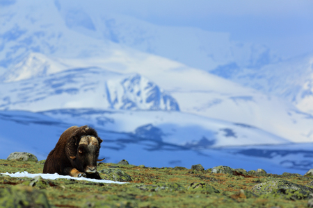 Musk Ox, Ovibos moschatus, with mountain and snow in the background, big animal in the nature habitat, Greenland.