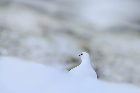 White bird hidden in white habitat. Art view of nature. Rock Ptarmigan, Lagopus mutus, white bird sitting on the snow, Norway.