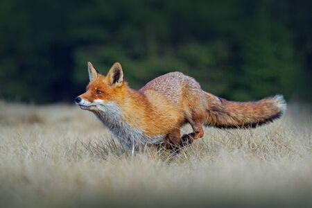 Running red fox. Running Red Fox, Vulpes vulpes, at green forest. Wildlife scene from Europe.