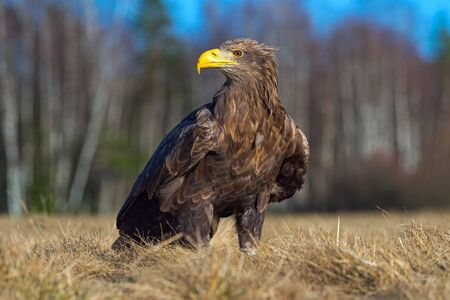 Eagle in the nature habitat. White-tailed Eagle, Haliaeetus albicilla, sitting in the old marsh grass, birch tree forest in the background. Portrait of bird in nature. Wildlife scene with animal Stock Photo