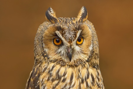 Detail portrait of owl. Long-eared Owl sitting on the branch in the fallen larch forest during autumn.