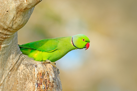 Rose-ringed Parakeet, Psittacula krameri, beautiful parrot in the nature green forest habitat, Sri Lanka, Asia. Parrot, wildlife scene. Green parrot sitting on tree trunk with green background.