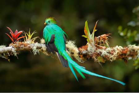Exotic bird with long tail. Resplendent Quetzal, Pharomachrus mocinno, magnificent sacred green bird from Savegre in Costa Rica. Rare magic animal in mountain tropic forest. Birdwatching in America. 스톡 콘텐츠