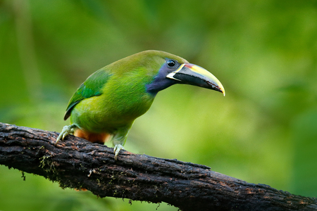 Wildlife scene from nature. Exotic bird, tropic forest. Small toucan. Blue-throated Toucanet, Aulacorhynchus prasinus, green toucan bird in the nature habitat, exotic animal in tropical forest, Mexico.