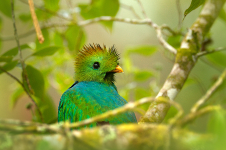Resplendent Quetzal, Pharomachrus mocinno, from Nicaragua with blurred green forest foreground and background. Magnificent sacred green and red bird. Detail portrait Resplendent Quetzal. Green trogon. Stock Photo