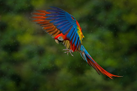 Wildlife scene from tropic nature. Red bird in the forest. Parrot flight. Red parrot in rain. Macaw parrot fly in dark green vegetation. Scarlet Macaw, Ara macao, in tropical forest, Costa Rica.
