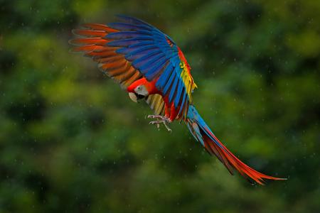 트로픽 자연에서 야생 동물 장면입니다. 숲에서 빨간 새입니다. 앵무새 비행입니다. 비에서 빨간색 앵무새입니다. 어두운 녹색 식물에 머 코 앵무새 비행. 스 칼 렛 잉 꼬, Ara 마카오, 열 대 숲, 코스타리카에서.